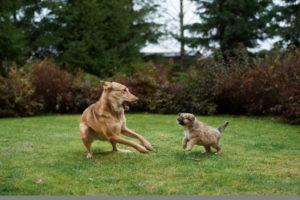 Как познакомить собаку с новым щенком?